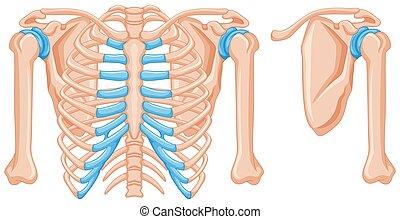 Structure of shoulder bones illustration
