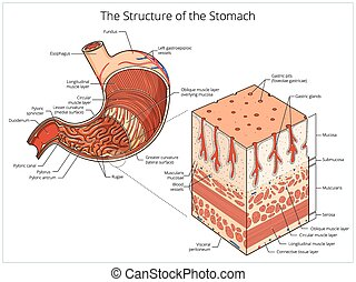 Structure of stomach medical educational vector...