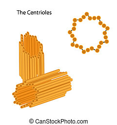 Structure of the centrioles, eps8