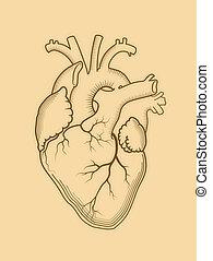 structure., organ, heart., anatomisch, intern, menschliche