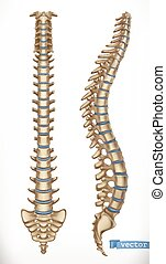 structure., skelett, rygg, vektor, mänsklig, medicine., främre del, utsikt., 3, sida, ikon