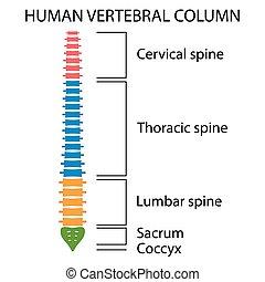 structure., vertebral spalt, rygg