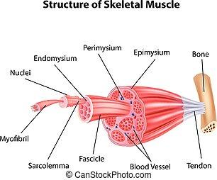 structuur, skeletachtig, illustratie