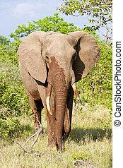 struik, elefant, wandeling