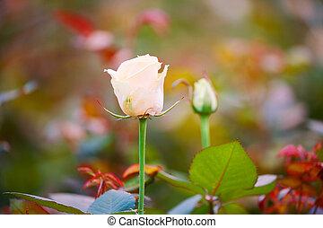 struiken, broeikas, rosebuds, delicaat