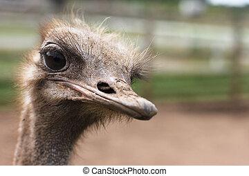 struisvogel, hoofd