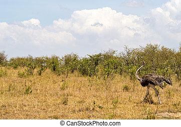 struisvogel, in, de, savanne, van, mara, een, park, in, noordwestelijk, kenia