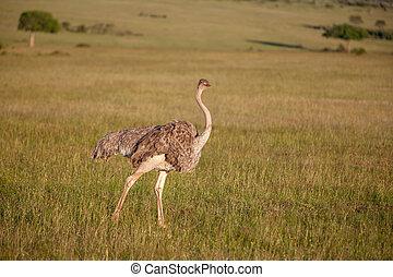 struisvogel, wandelende, op, savanne, in, afrika., safari., kenia