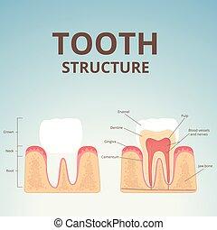 struktur, i, menneske tand