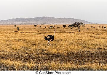 Struthio camelus (Ostrich), male - Serengeti National Park, ...