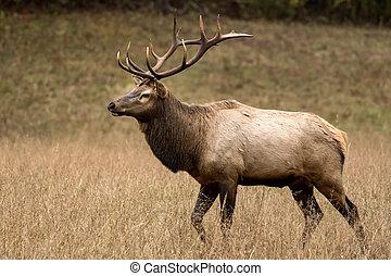 Strutting Bull Elk In Dry Field