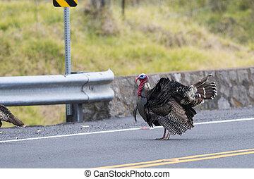Strutting Wild Turkey - A strutting Wild Turkey standing in...
