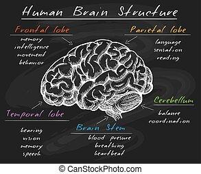 struttura, cervello, biologia, lavagna, umano