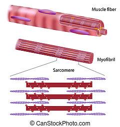 struttura, di, scheletrico, muscolo, fibra