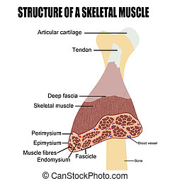 struttura, di, uno, scheletrico, muscolo
