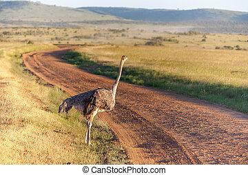 struzzo, camminare, su, savana, in, africa., safari., kenia