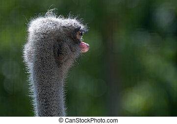 struthio camelus - Struzzo - struthio camelus head