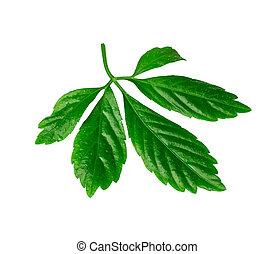 strzyżenie, liść, ziele, odizolowany, jiaogulan,...