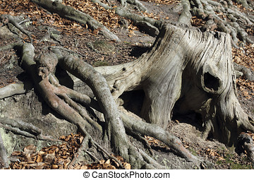 Stub and roots of a beech