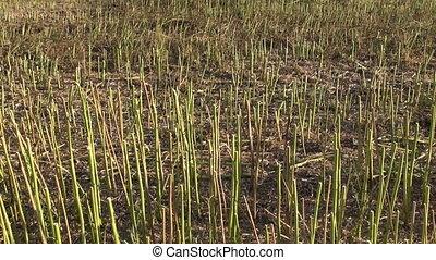 Stubble stalks of harvested field - Stubble stalks of ...