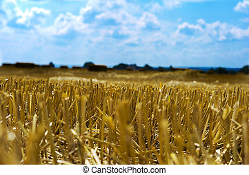 Stubble - yellow stubble field and blue sky background