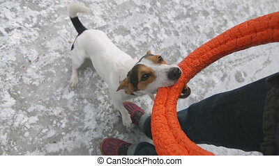 Jack Russell in the snow plays with his toy - Stubborn Jack...