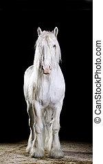 studio, blanc, coup, cheval