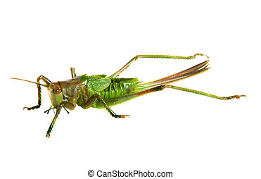 grasshopper over white background
