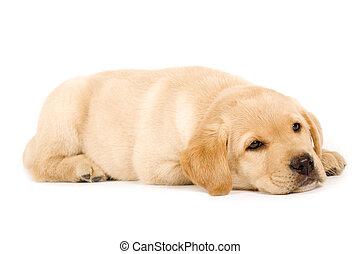 cute labrador dog sleeping