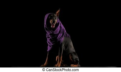 Studio portrait of a cheerful Doberman in a lilac scarf with an ear sticking out from under it. The dog sits full-length and yawns wide, sticking out a pink tongue in slow motion. Isolated over black background. Close up