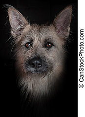 studio portrait of a dog, looking at the camera, black background