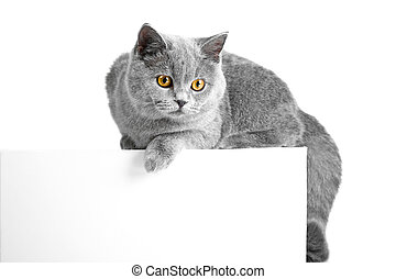 British blue cat lying on tablet