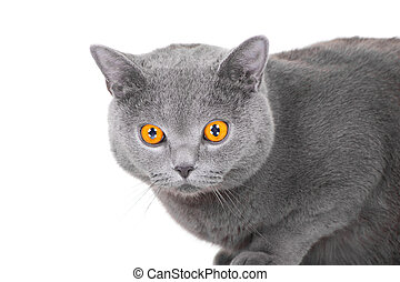 young British blue cat sitting on isolated white