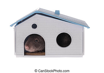 domestic rat in the house
