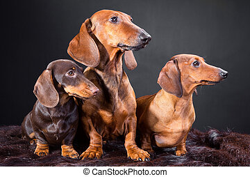 three red and chocolate dachshund dogs