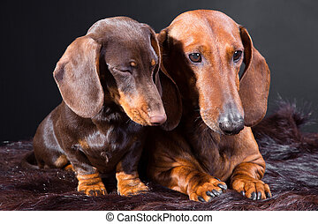 two red and chocolate dachshund dogs