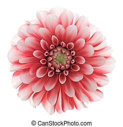 dahlia - Studio shot of a dahlia. Isolated on white...