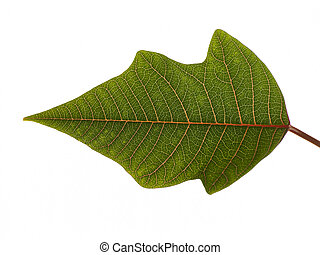 Studio Shot Of A Green Leaf