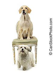 Studio shot of a Havanese and a Mixed breed dog