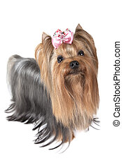 Yorkshire terrier dog in front of white background