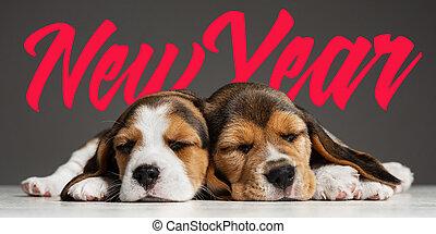 Studio shot of beagle puppies on grey studio background - ...