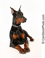 Studio shot of doberman pinscher dog facing the camera.