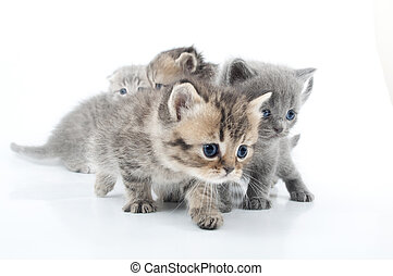 Studio shot  of little kittens isolated over white