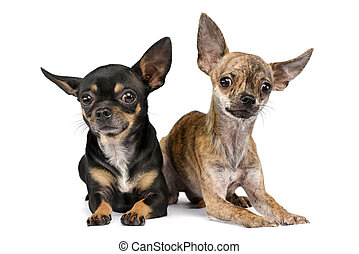 Studio shot of two adorable short haired Chihuahua