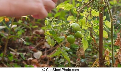 study of the development of tomatoes. Genetic Engineering....