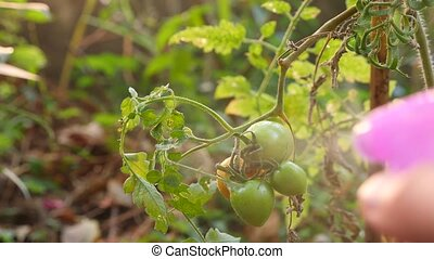 study of the development of tomatoes. Genetic Engineering....