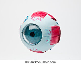 study tool of an eye - anatomic medical study tool of an...