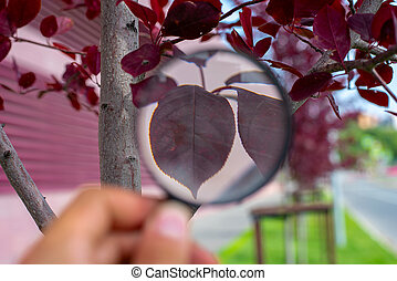 Studying of a red leaf of a tree through a magnifying glass in a male hand, ecology, botany