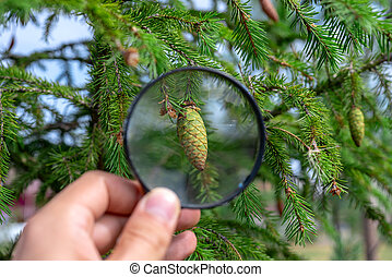 Studying of the pine cone through a magnifying glass in a male hand, ecology, botany