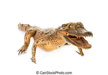 crocodile in studio